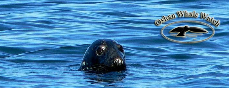 Seals: Close by, Plentiful and Fun to Watch While Whale Touring