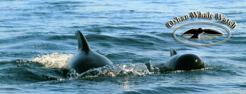 A pair of long finned pilot whales